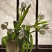 white tulips in the window