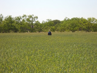 2012 Wheat Crop Waist High in April