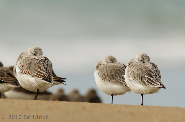 Three sanderlings? -- Pat Ulrich Wildlife and Nature Photography