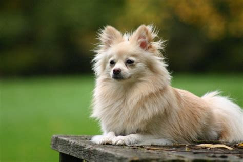 Cute Pictures of Pomeranian Dogs and Puppies   Pets World