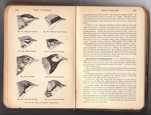 Chapman Warblers