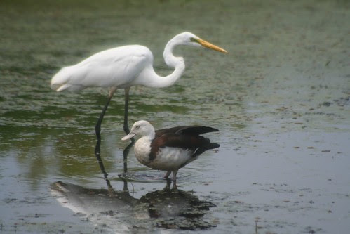 Egret and Radjah Shelduck