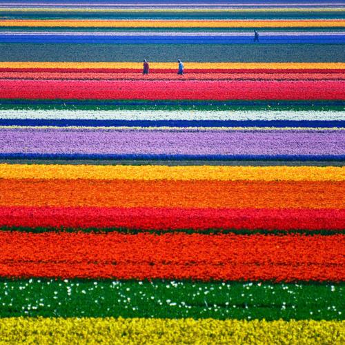 Tulip Field, North Holland, The Netherlands  photo by allardone