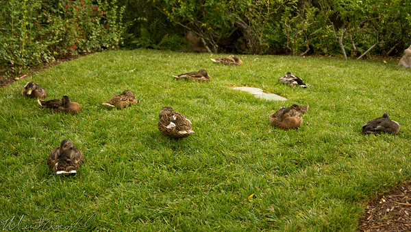 Disneyland Resort, Disneyland60, Disneyland, Duck, Sleep
