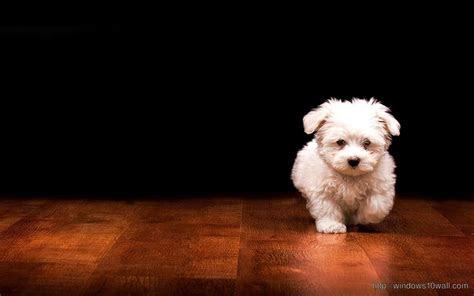 beautiful puppy black background wallpaper windows