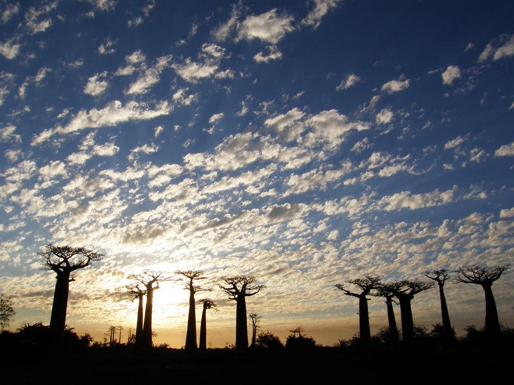 4955998343 2b4170b300 b Baobab   The Upside Down Tree [25 Pics]