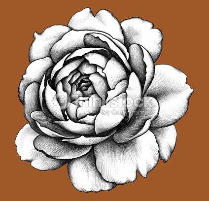Color De Rosa Dibujo A Lápiz Ilustración De Stock Thinkstock