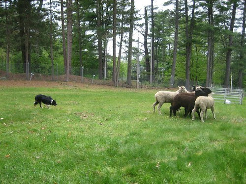 herding demonstration