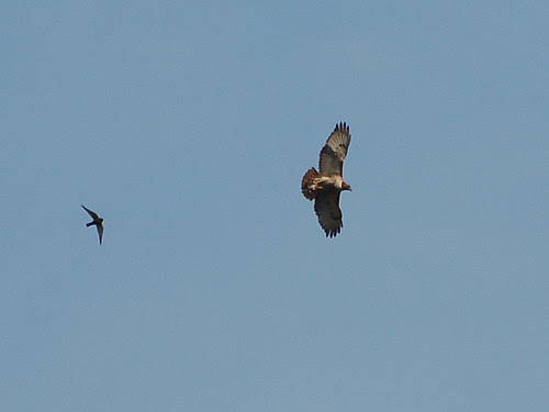 Red-Tail and Kestrel