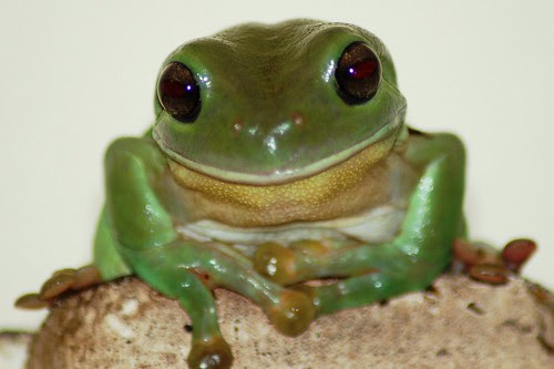 frog from at home