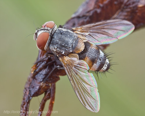 Fly: Tachinidae - possibly Carcelia sp....IMG_0833 copy