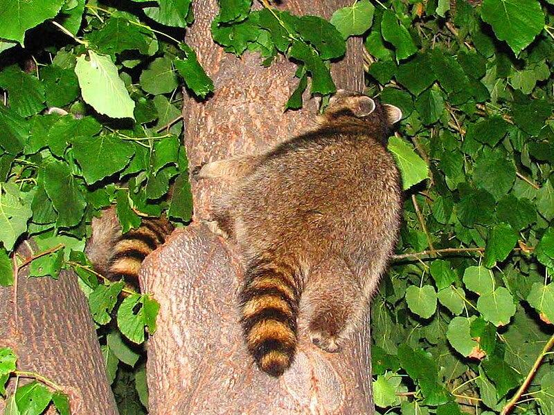 File:Northern Raccoons in tree.jpg
