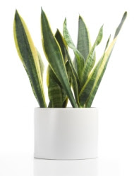 snake plant, mother-in-law's tongue, sansevieria