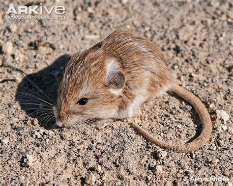 Dark kangaroo mouse photo   Microdipodops megacephalus   G137160   Arkive