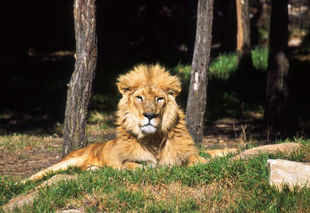 """A lion in the Gir Wildlife Sanctuary in Gujarat. In 2013, the Supreme Court had ordered the translocation of Asiatic Lions from Gujarat to Madhya Pradesh, stating that since the species is facing extinction, it needs a """"second home"""". (Getty Images file photo)"""
