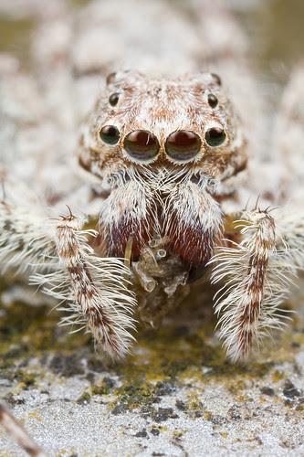 Jumping spider, Phaeacius sp. IMG_6866 copy