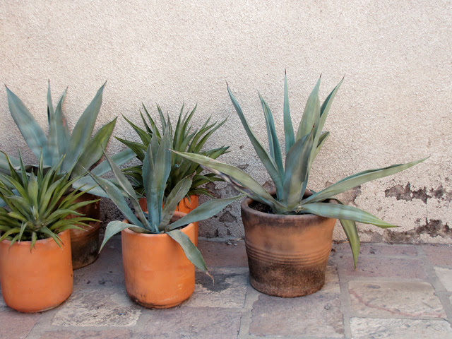 Agave Pots
