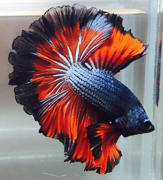 44 Koleksi Gambar Ikan Cupang Hias Termahal HD