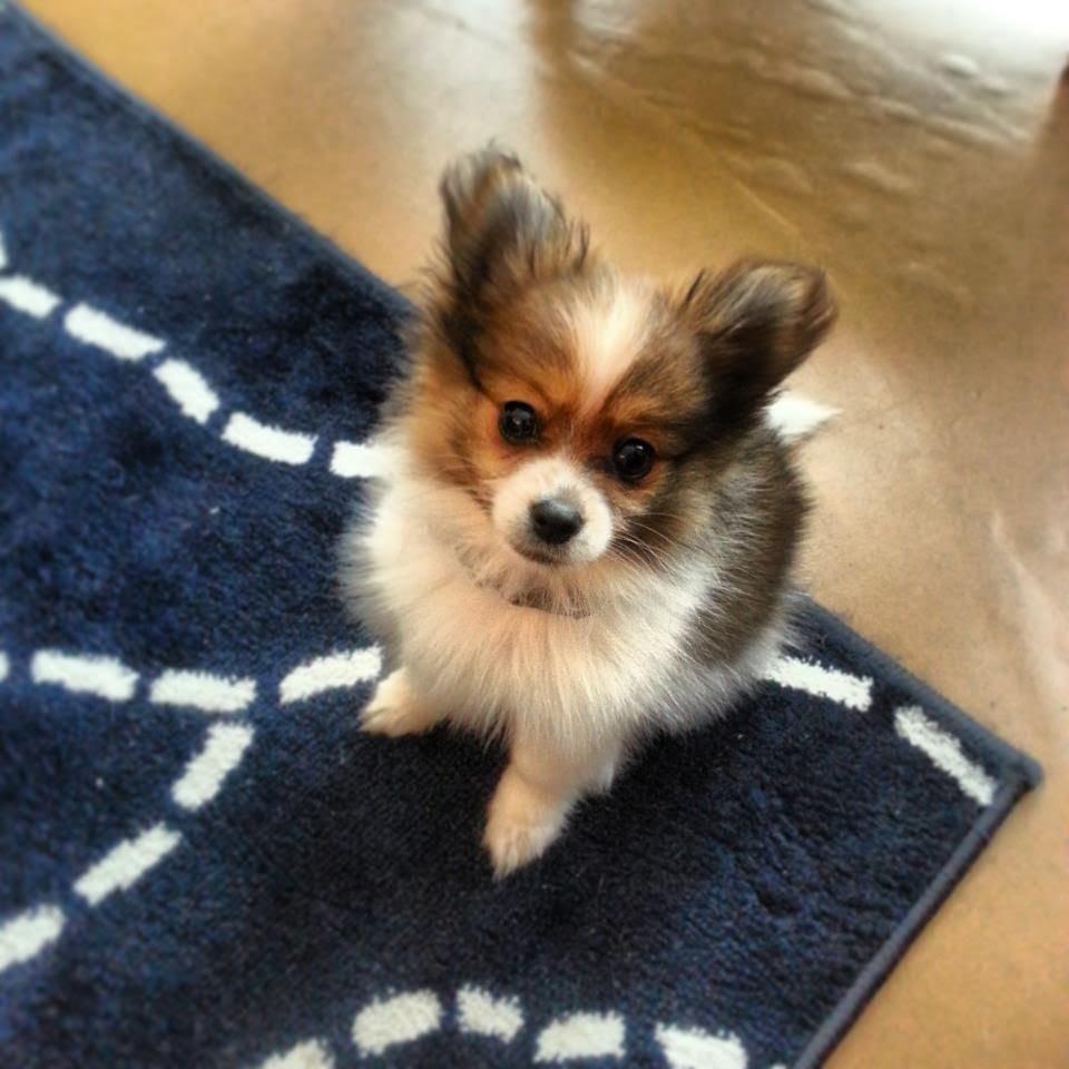 View Ad: Chihuahua Dog for Adoption near Oklahoma USA
