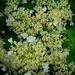 Hydrangea petiolaris - Sykehusområdet