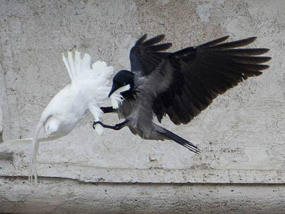Resultado de imagen para vaticano cuervo ataca paloma