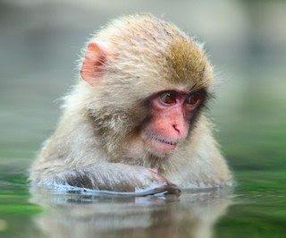 macaco japones  Macaco japonés macaco japones