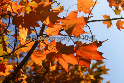 orange maple leaves in the autumn against a blue sky