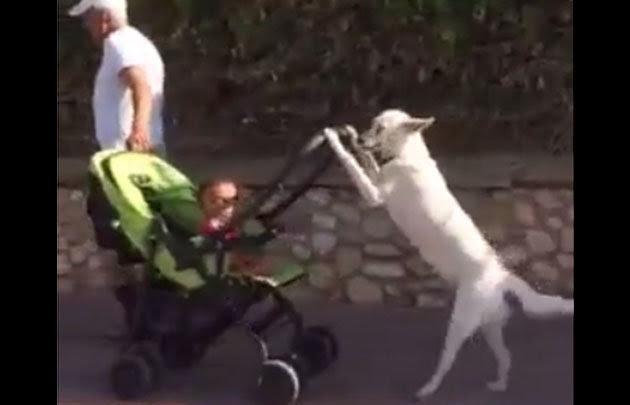 El sorprendente perro que pasea a un bebito en coche