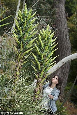 Garden worker Kirsten Morris  is dwarfed by the Puya flowers