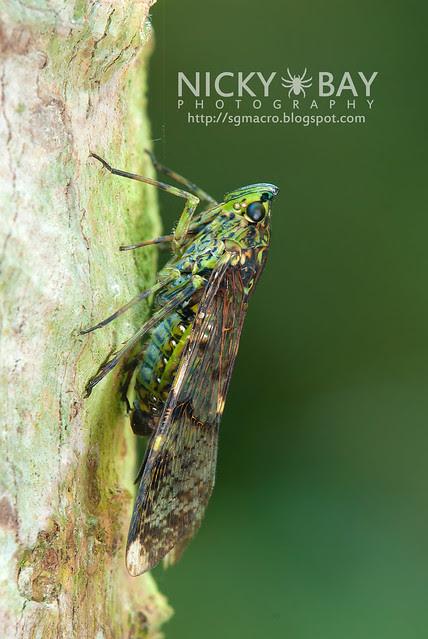 Planthopper (Dichoptera sp.) - DSC_7263