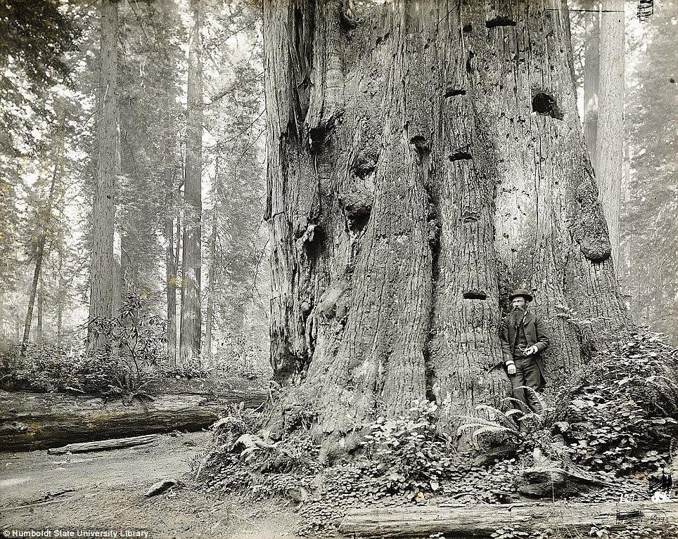Virgin Redwoods, Garfield, Humboldt County