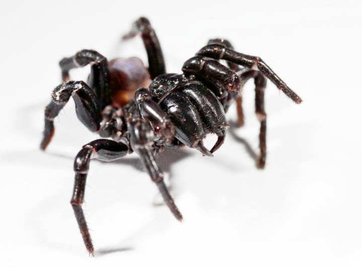 10 most dangerous spiders in the world 10
