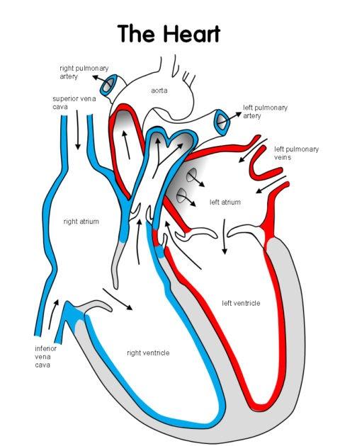 Blank Heart Diagram To Label - General Wiring Diagram