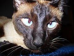 Siamese Cat Cross-Eyed