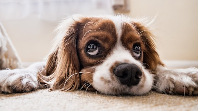 Displasia de cadera: síntomas y tratamiento en el perro