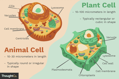 animal: Animal Cell Diagram For Class 9th