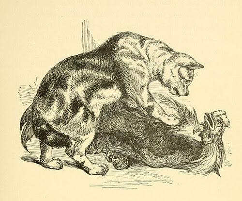 Feles et Gallus