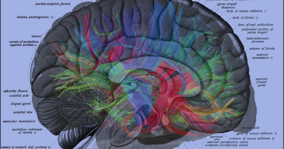 Label Diagram Of The Brain - Free Wiring Diagram