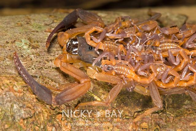 Scorpion (Lychas scutilus) - DSC_8961