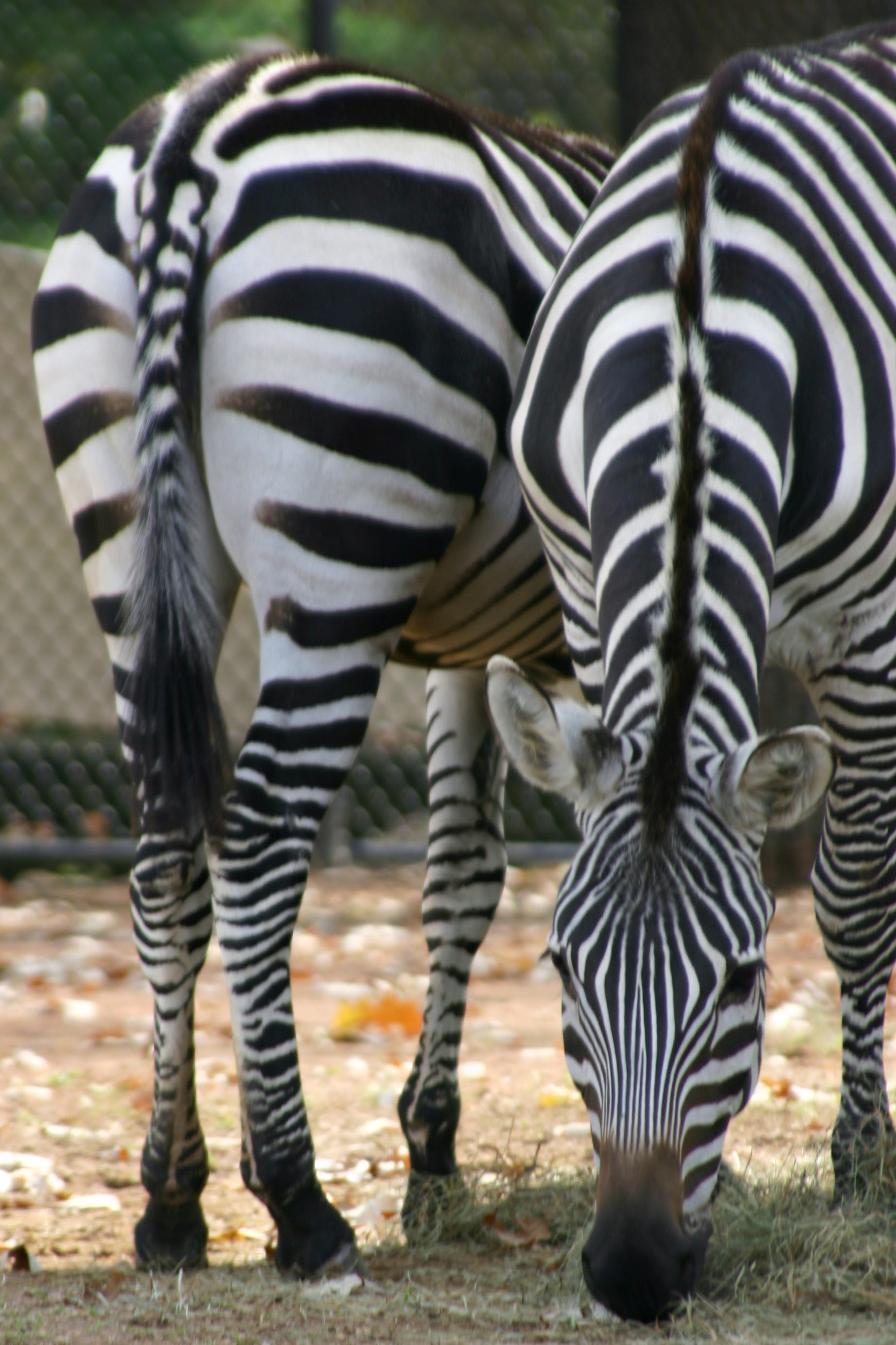 Zebra - Front and Back