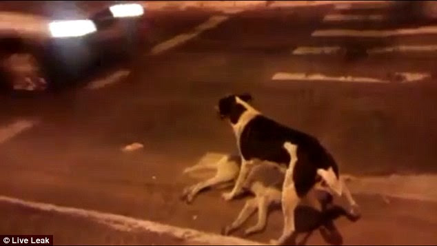 Protector: This devoted dog stands guard over the body of his dead friend who hit by a car