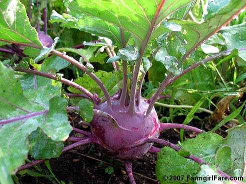 Purple Kohlrabi in the kitchen garden - Farmgirl Fare