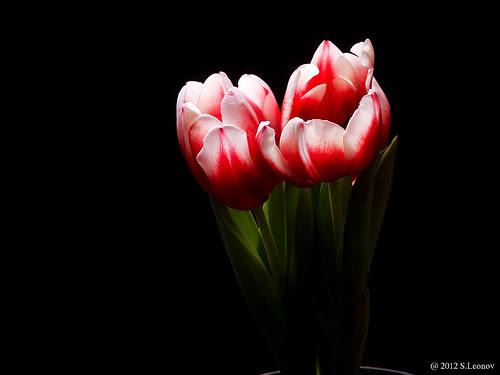 Тюльпан by S.Leonov