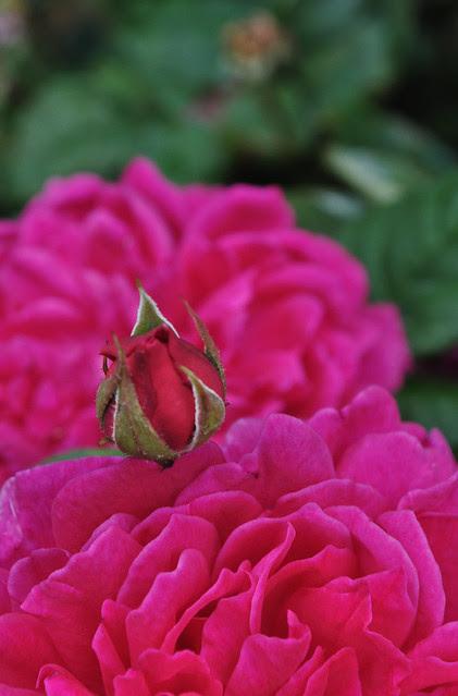 Rose Sophy's Rose