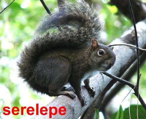 Serelepe