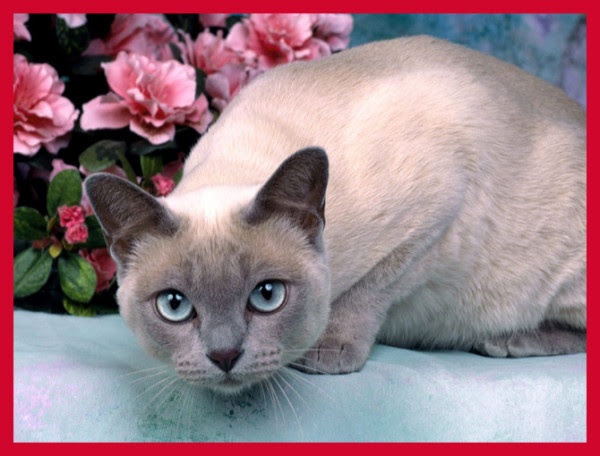 cutest cat breeds (19)