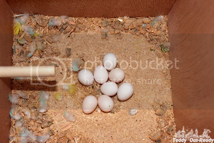 Budgies Egg