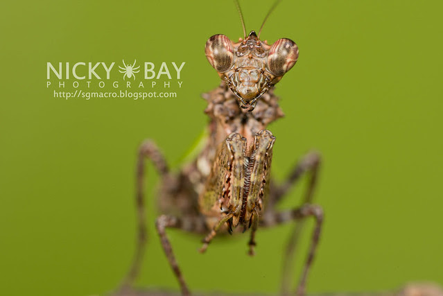 Pachymantis bicingulata - DSC_0639