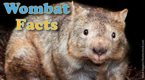 Wombat Facts, Pictures & Information For Kids & Adults.