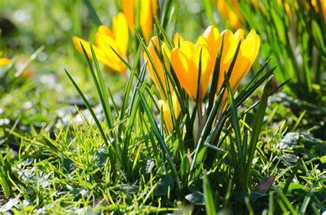 Yellow Spring Flowers Free Stock Photo   Public Domain